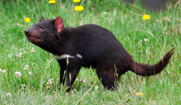 Animales carroñeros: Demonio de Tazmania