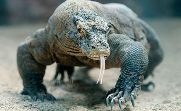 Animales carroñers: Dragón de Komodo