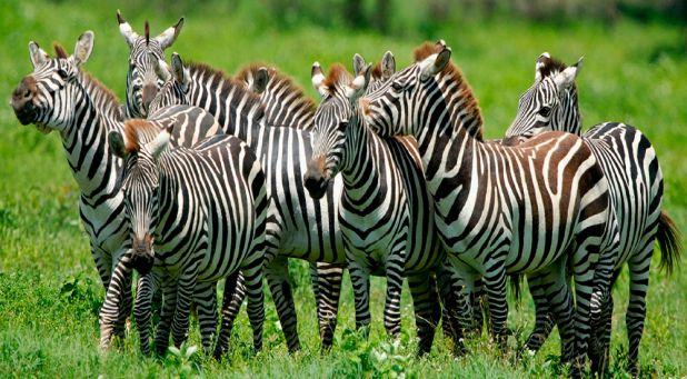 Animales hervíboros: Cebras