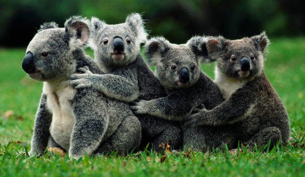 Animales hervíboros: Koalas