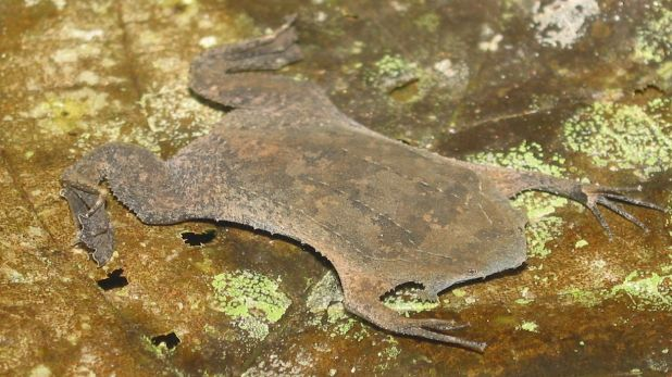Animales ovovivíparos: Sapo de Surinam