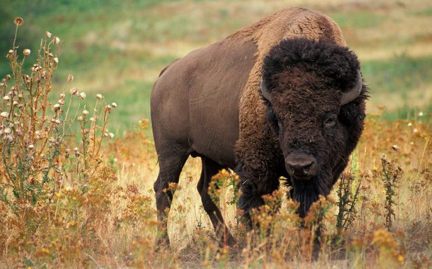 Animales rumiantes: Bisonte americano