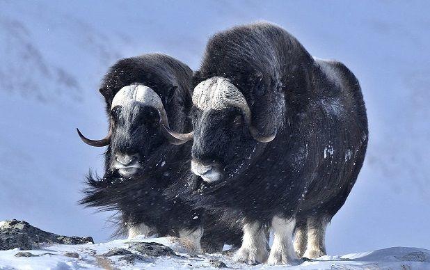 Bueys polares