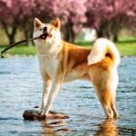 Curiosidades sobre los perros Akita Inu