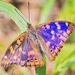 Datos interesantes sobre la mariposa tornasolada