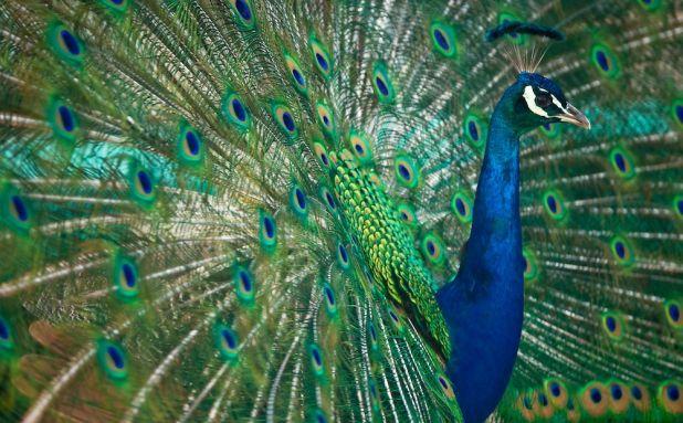 Pavos reales animaleshoy - Fotos de un pavo real ...