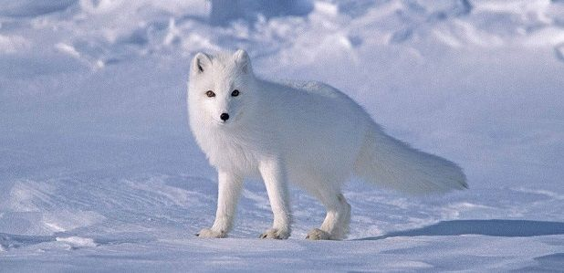 Zorro polar