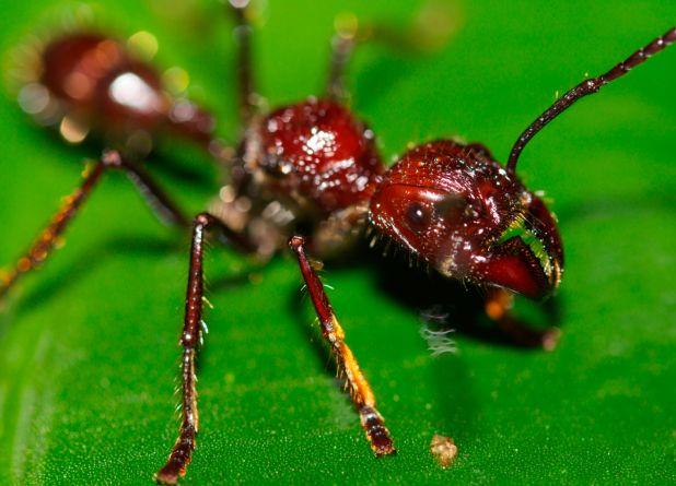 Principales animales del Amazonas: Hormigas bala
