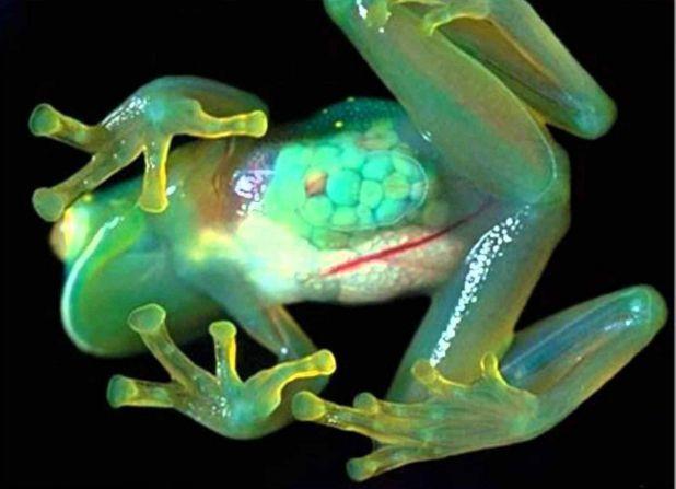 Principales animales del Amazonas: Rana de vidrio