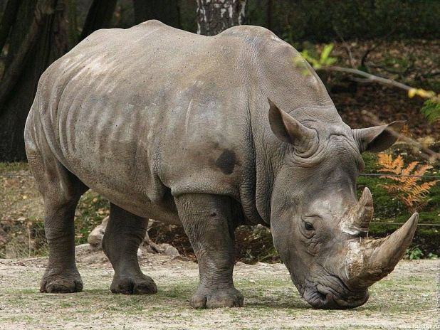 Animales hervíboros: Rinoceronte