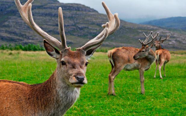 Animales hervíboros: Ciervo