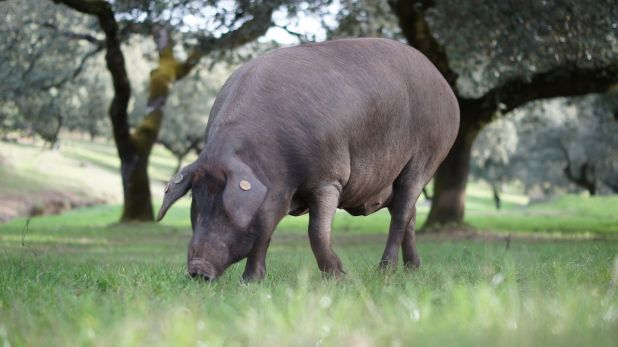 Animales omnívoros: Cerdo