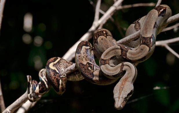 Animales ovovivíparos: Boa Constrictor