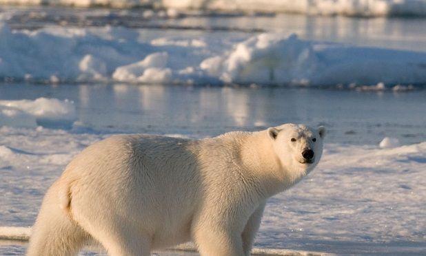 Animales polares