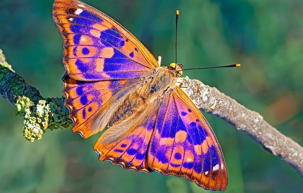 Mariposas tornasoladas