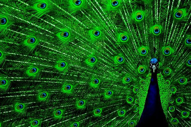 Pavo real verde