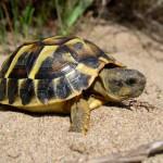 Tortugas que podemos ver en Espana