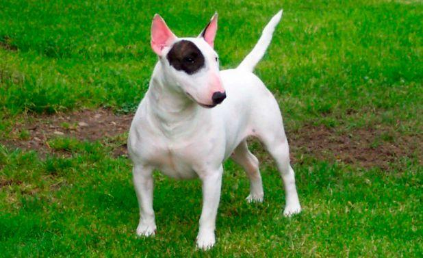 Bull Terrier Inglés