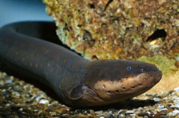 Principales animales del Amazonas: Anguila eléctrica