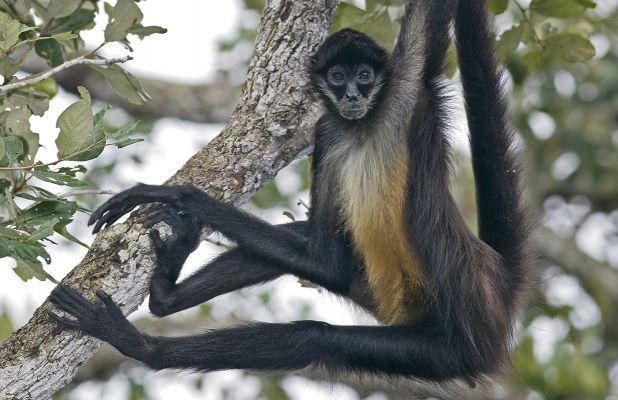Principales animales del Amazonas: Mono araña