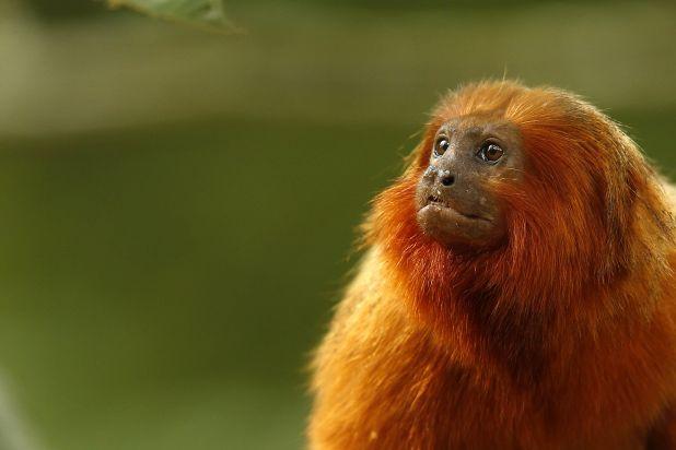 Principales animales del Amazonas: Mono tití león dorado