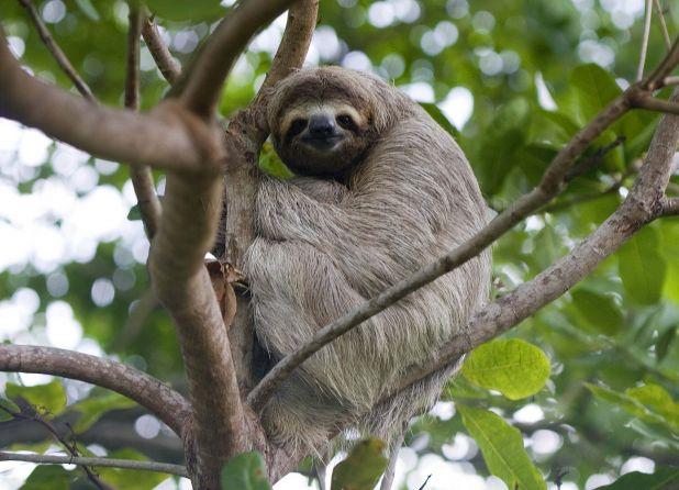 Principales animales del Amazonas: Perezoso